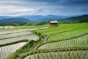 Thai Rice Fields